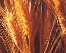 小麦粉(标准粉)